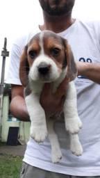 Disponível filhote  beagles com pedigree