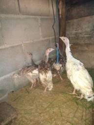 Filhotes de perú 4 meses