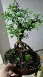 Bonsai ulmus chines 10 anos