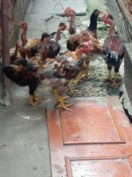 Esterco de galinha