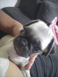 Filhote de Pug macho 1.800