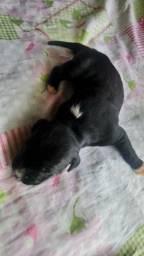 Fêmea pitbull