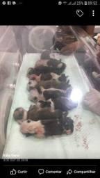 bulldog inglês para inseminação pedigree cbkc