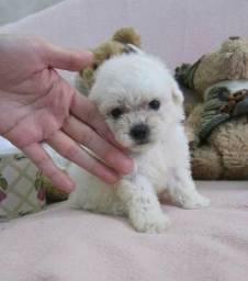 Poodle toy macho / com a primeira dose da vacina e vermifugado