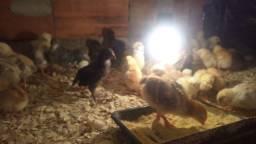 Frangas ovos azuis e outras (Glz, Glc, Ameraucanas, Embrapa, caipirão. A partir de R$12,00