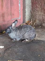 Vendo coelho femia e macho