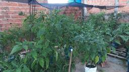 Pimenta Bhut jolokia vendo pé com 1.30cm com flor
