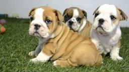 Bulldog Inglês , vem nos conhecer . lOjas físicas