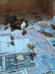 Vendo filhote de peru e pintinhos indio gigante  e caipira