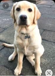 Filhote de Labrador Macho, 7 meses