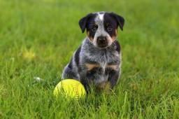 Amor de Australian Cattle Dog, com pedigree