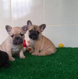 Filhotes de Bulldog francês.