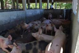 Vendo porcos R$125,00 @
