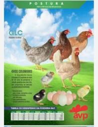 GLC Avifran, poedeira ovos multicoloridos