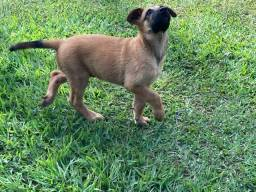 Cachorro Pastor Belga Malinoa ( Malinóis)