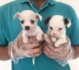 Chihuahua filhotes lindos