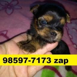 Canil Filhotes Cães Premium BH Yorkshire Poodle Lhasa Beagle Basset Shihtzu Maltês
