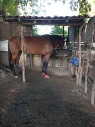 Cavalo mangalarga machado