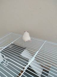 Hamster Filhote