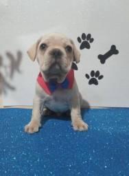 Bulldog francês macho uma fofura