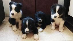 Border Collie com pedigree