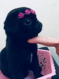 Pug black lindos