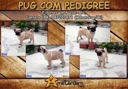 Pug abricot com pedigree e no padrão!