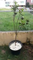 Mudas de frutíferas produzindo