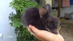 Vende se filhotes de coelhos angorá