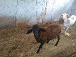 Vendo casal de carneiros, 10 kg