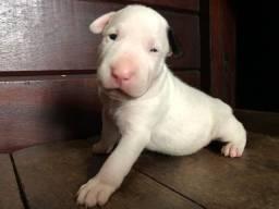 Bull Terrier - Filhotes a venda