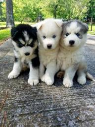 Machinhos e fêmeas de Husky Siberiano!