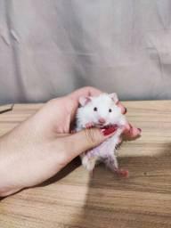 Hamster filhotes mansos