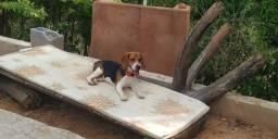 Vendo Filhote de Beagle