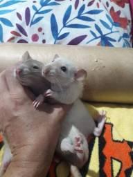 Ratos Twister 2 irmãos 2 meses Doação + extras