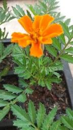 Flor Tegete e Tagetão