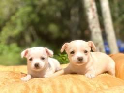 Babys lindos de Chihuahua disponíveis para entrega