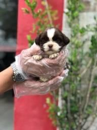 ShihTzu com garantias e suporte veterinário gratuito