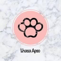 Lhasa apso com pedigree e microchip
