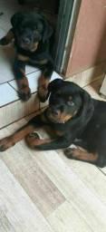 Vendo filhotes de Rottweiler Puríssimo 350 reais