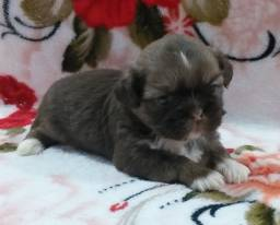 Shih tzu Chocolate Lindo