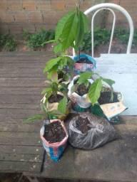 Vende-se pé de abacate