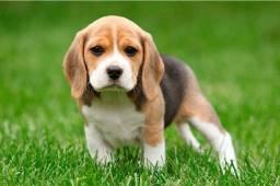 "Filhotes de beagle 13"" a pronta entrega"