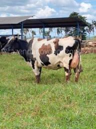 Vacas em lactação.