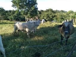 Vacas enchertada
