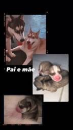 Filhotes husky siberiano PURO