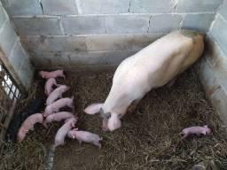 Porco filhotes