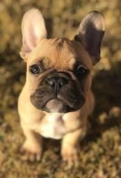 Lindos filhotes de Bulldog Francês Disponíveis