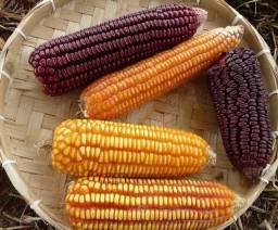 Sementes de milho Crioulo