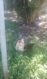 Vendo 6 galinhas